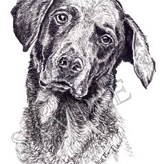Jennie-Chesapeake Bay Retriever