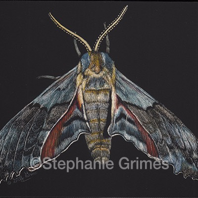 Moth (Pachysphinx occidentalis)
